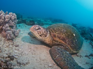 Green Sea Turtle, Flinders Reef, QLD