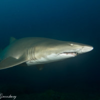 Wolf Rock  – Grey Nurse Sharks All Year Round!!