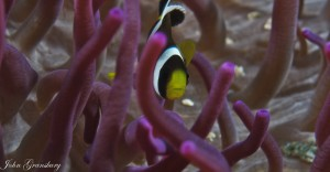 Clown Fish, Anenome Bay, North Solitary Islands, NSW