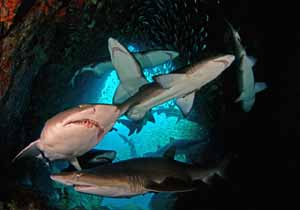 Fish Rock Cave sharks