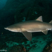 Grey Nurse Shark Overload at Seal Rocks, Forster, N.S.W.