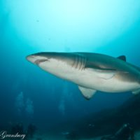 Get your Grey Nurse Shark on during Shark Fest at Shark Alley, North Stradbroke Island