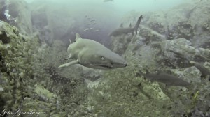 Grey Nurse Shark - Shark Gutters, Fish Rock Cave, South West Rocks, NSW.