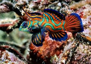 PALAU-Mandarin-Fish