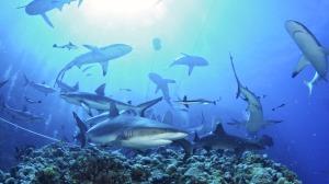 SOF - Sharks3