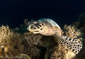 Hawksbill Sea Turtle / Eretmochelys imbricata