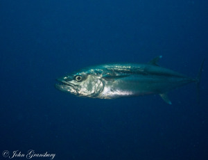 Dog Tooth Tuna / Gymnosarda unicolor