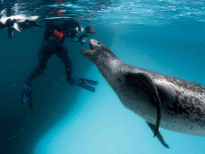 Leopard-Seal-Feeds-Photographer-Penguins