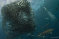 Sardine Run, South Africa – The GREATEST Spectacle in Nature!