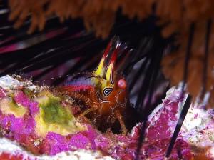 Lord Howe Island Marble Shrimp