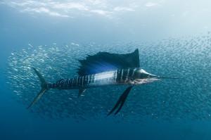 Sardine Run, Sailfish