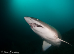 Grey Nurse Shark (Carcharias Taurus), Gutters of Fish Rock Cave, South West Rocks, NSW, Australia