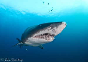 Grey Nurse Shark (blind mature female) / Carcharias Taurus