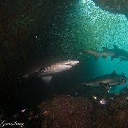 The New South Wales New Years Dive Spectacular!