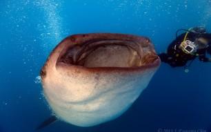 Whale Shark J. Esguerra Chin