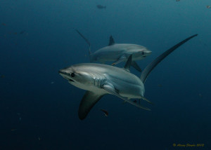thresher-sharks-Alex-Stroyda