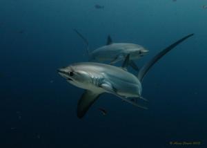 thresher-sharks-Alex-Stroyda