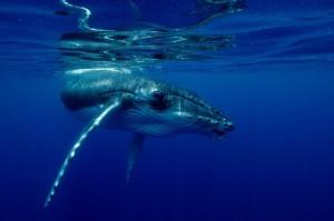 tonga-humpback-5