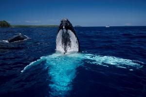 tonga-humpback