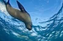Dive with Fur Seals at Narooma this Easter!